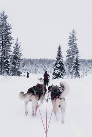 psie zaprzęgi finlandia