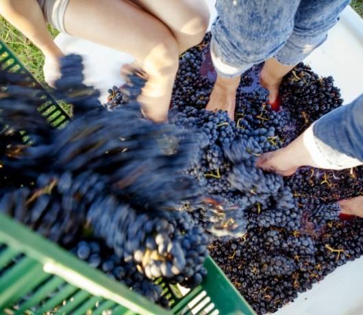 Na trasie lubuskiego szlaku wina  i miodu. Po prawej; winobranie w Sztukówce