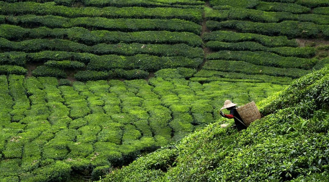 sri lanka plantacja herbaty
