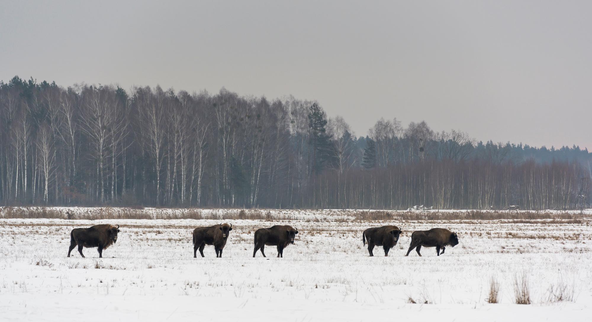 Puszcza Białowieska biegówki