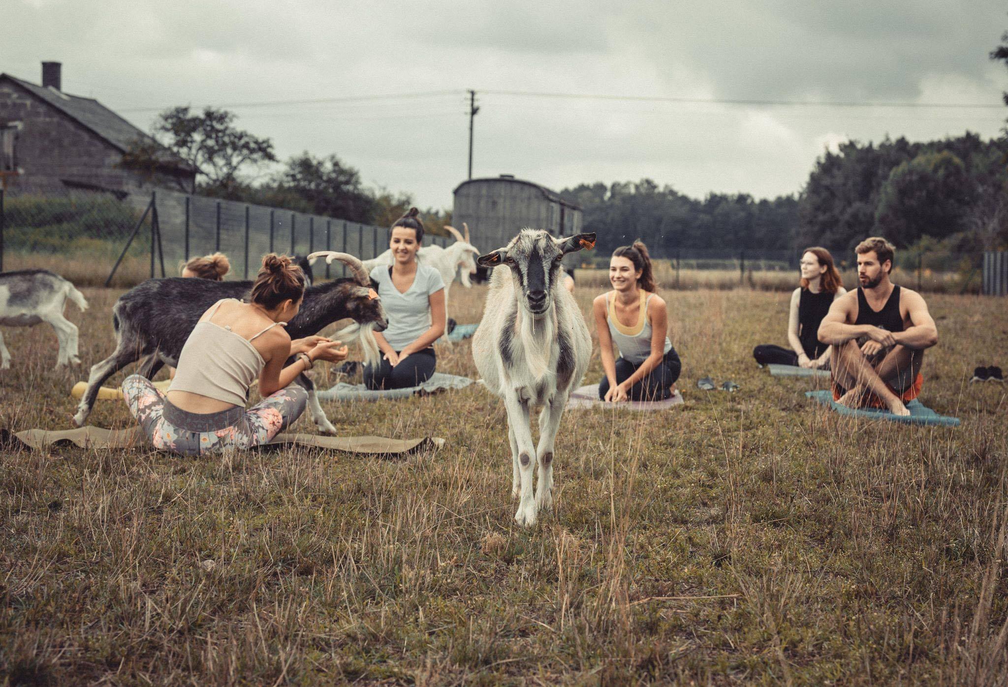 joga z kozami